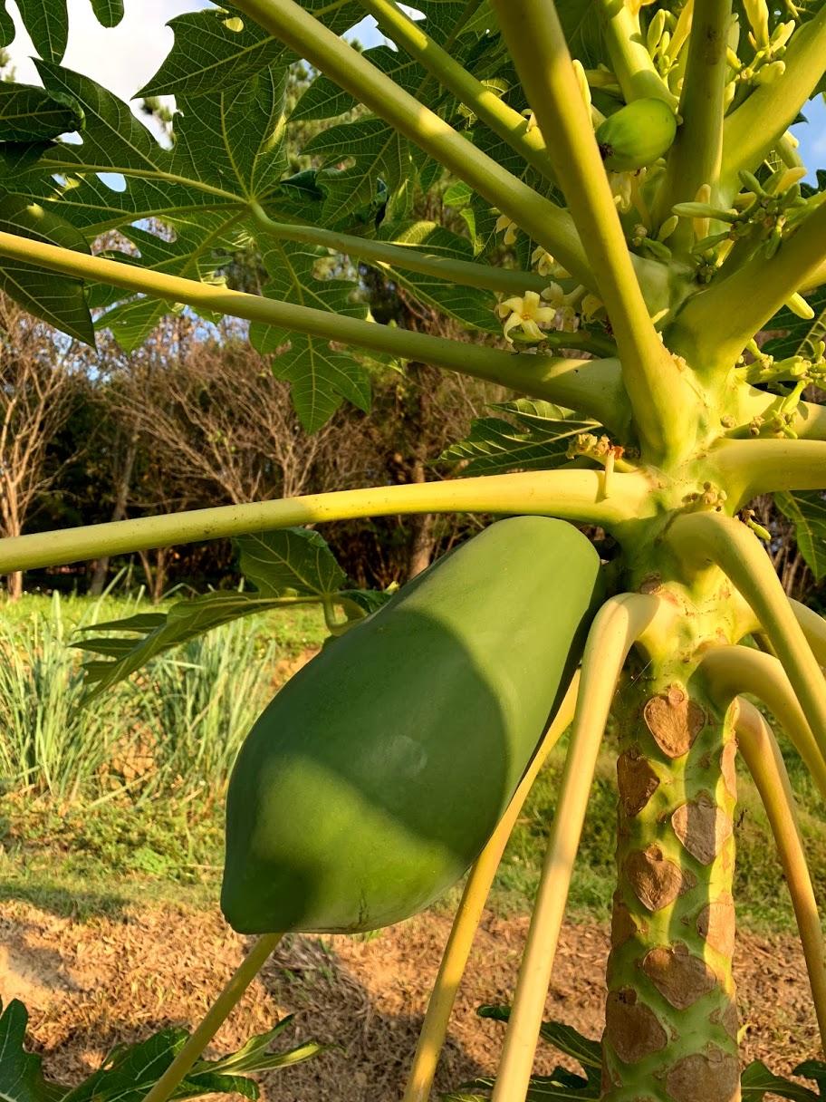 飽滿的青木瓜