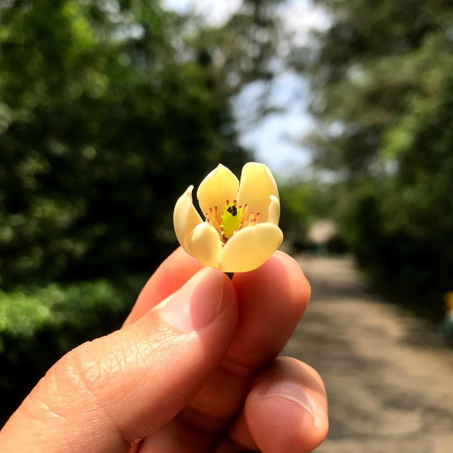 有果香的含笑花