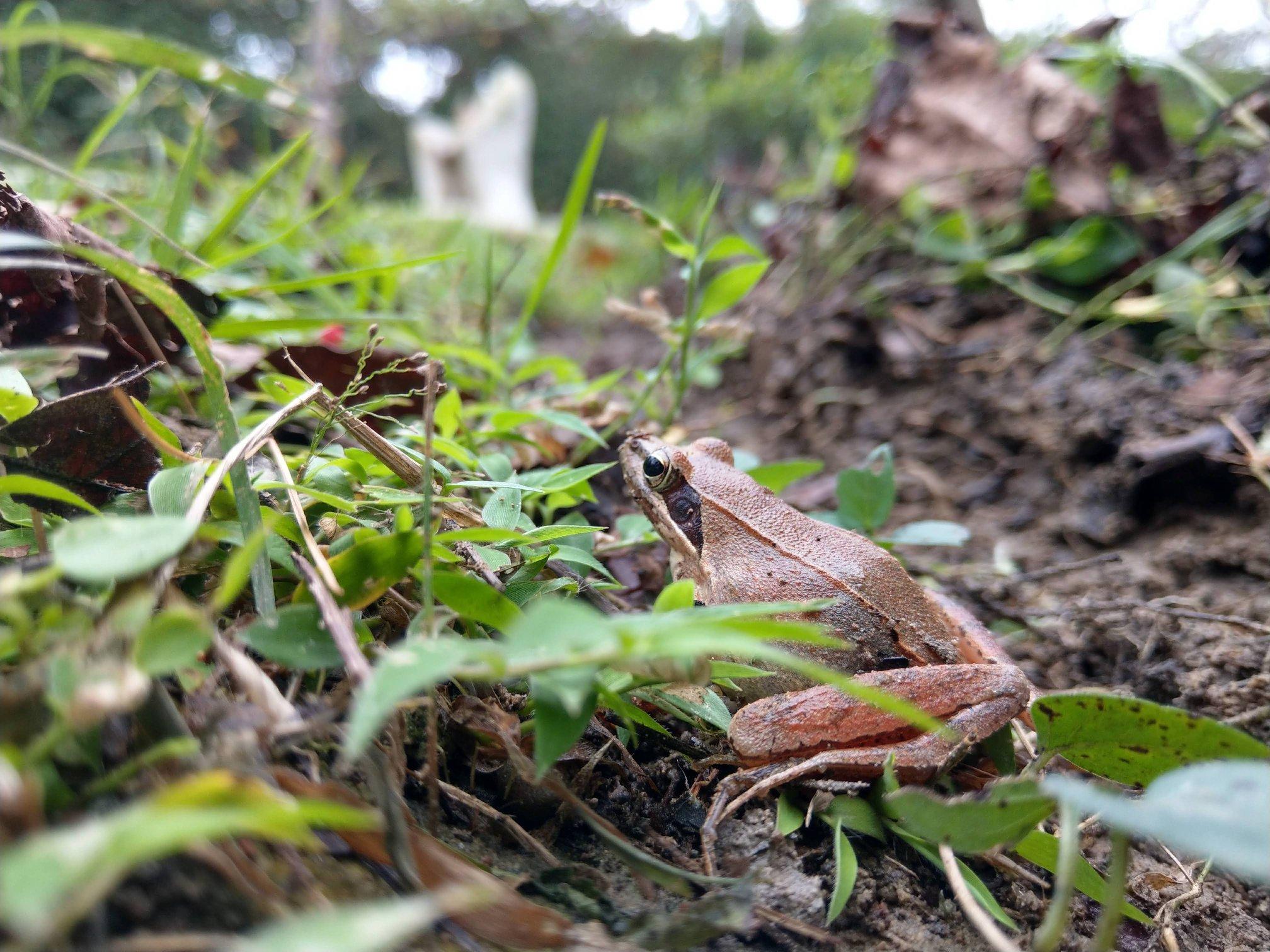 草溝裡的梭德氏赤蛙