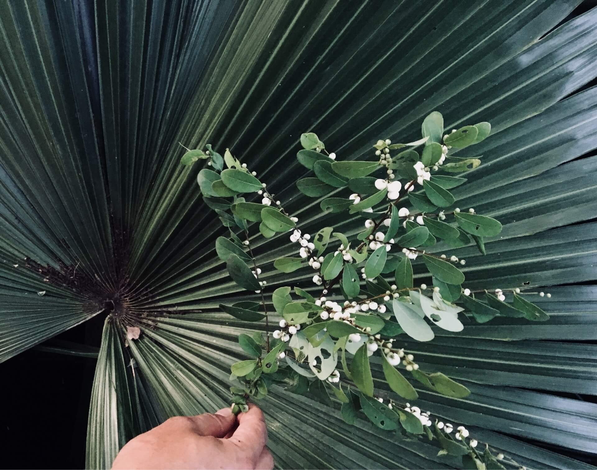 長在樹上的白米飯?