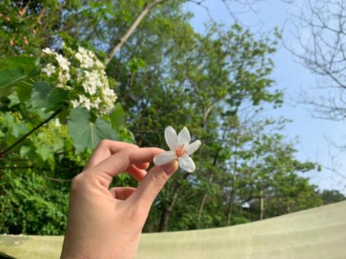 油桐樹開花了