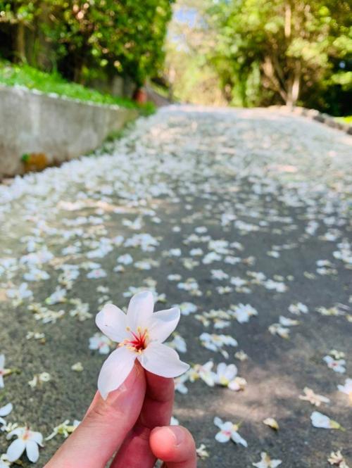 桐花季要到了!